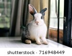 Stock photo grey bunny rabbit looking frontward to viewer little bunny sitting on white desk lovely pet for 716948449
