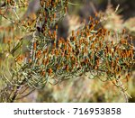 Small photo of Unusual Australian native Allocasuarina verticillata drooping sheoak with brown flowers winter to spring on male needle like leaves growing in Manea Park, Bunbury, Western Australia.