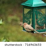A Male House Finch Is Perching...