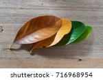 leaves of different age of tree ...   Shutterstock . vector #716968954