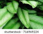 calathea majestica   | Shutterstock . vector #716969224