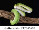 A Green Tree Python Wrapped...