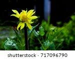 Withered Flower Dahlia  In Dark ...