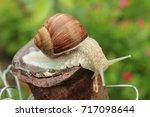 burgundy snail  helix  roman... | Shutterstock . vector #717098644