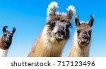 A Llama Family Lives On A...