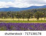 Small photo of Margate, TASMANIA, AUSTRALIA, DEC 31, 2016 : Tasmanian lavender fields with rolling hills and mountains in background