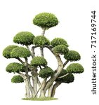 siamese rough bush isolated on... | Shutterstock . vector #717169744