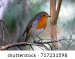 beautiful robin. wild fauna ... | Shutterstock . vector #717231598