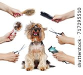 Stock photo yorkshire terrier puppy surrounded by hands holding groomer tools 717295510