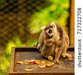 ring tailed lemur  lemur catta  ... | Shutterstock . vector #717322708
