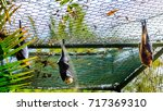 the rodrigues flying fox or... | Shutterstock . vector #717369310