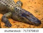 crocodile head in focus. nile... | Shutterstock . vector #717370810
