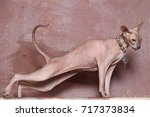 bald cat sphinx stretches | Shutterstock . vector #717373834