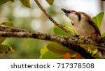 the red whiskered bulbul ... | Shutterstock . vector #717378508