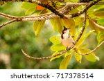 the red whiskered bulbul ... | Shutterstock . vector #717378514