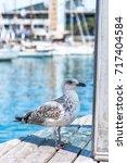 Seagull Close Up Portrait. Blu...