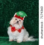 adorable maltese dog with santa's helper hat - stock photo
