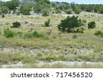 Three White Tail Deer