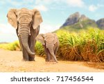African bush elephants  ...
