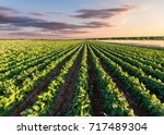 Rows Of Green Soybean At...