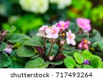 Pink African Violet With Blur...