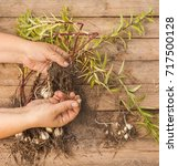 Small photo of Hands gardener divide the bulbs of lilies Asiatic hybrids on a wooden table top