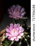 Small photo of Pink flowers of cactus is blooming very beautiful plant although its spine may hurt us. It's very popular for home house garden in greenhouse with a lot of sunlight.