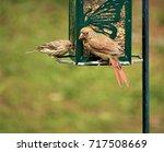 A Pair Of Female Cardinal Bird...