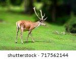 deer in the wild  running in...   Shutterstock . vector #717562144