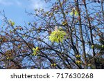 Small photo of strange natural phenomenon the chestnut in Ukraine blossoms in September in autumn. Global climate change of the planet Earth is one of the reasons for the strangeness of the tree.