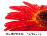 Red gerbera flower with water drops. Closeup. Isolated on white - stock photo