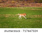 icelandic foal horse in spring... | Shutterstock . vector #717667324