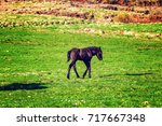 icelandic foal horse in spring... | Shutterstock . vector #717667348