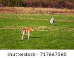 icelandic foal horse in spring... | Shutterstock . vector #717667360
