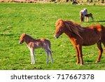 icelandic foal horse in spring... | Shutterstock . vector #717667378