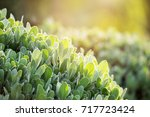nature green foliage with... | Shutterstock . vector #717723424