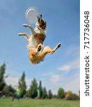 an australian shepherd collie... | Shutterstock . vector #717736048