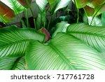 calathea majestica   | Shutterstock . vector #717761728