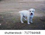 little baby white dog smilling... | Shutterstock . vector #717766468