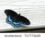Small photo of Red-spotted Purple Admiral Butterfly