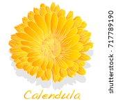 calendula. medical herb... | Shutterstock .eps vector #717789190