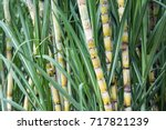 fresh sugarcane in garden. | Shutterstock . vector #717821239
