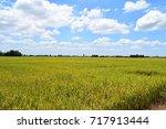 rice plant | Shutterstock . vector #717913444