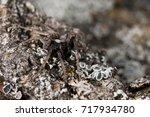 Small photo of Alopecosa sp. Locality: Argentera (CN), Piedmont, Italy.