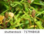 barleria lupulina  porcupine... | Shutterstock . vector #717948418