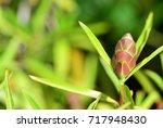 barleria lupulina  porcupine... | Shutterstock . vector #717948430