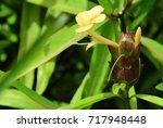 barleria lupulina  porcupine... | Shutterstock . vector #717948448