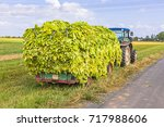 Small photo of Tobacco harvest is transported on a tractor trailer, rural landscape background. Transportation of harvested tobacco leaves