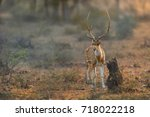 Axis Deer  Chital  Indian...