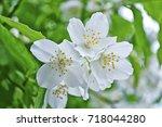 white jasmine. the branch...   Shutterstock . vector #718044280